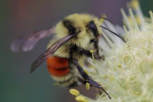 A Hunt's Bumble Bee (Bombus huntii) has orange-colored bands on the abdomen.