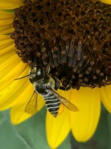 A leafcutter bee (Megachile sp.) visiting a sunflower.