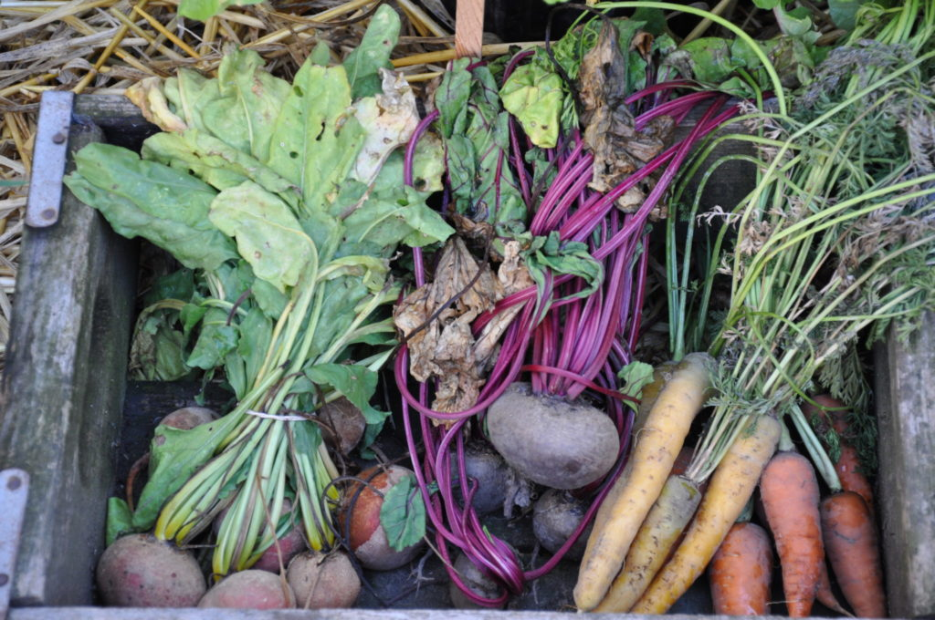 homegrown veggies including beets, carrots, and greens