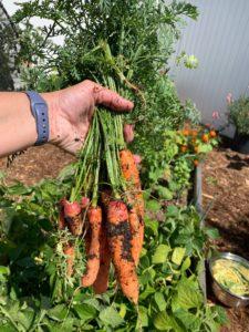 carrots in a home garden