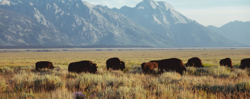 Bisons in a field with mountains in the background